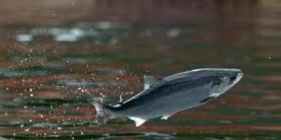 فرار أكثر من 32 ألف سمكة سلمون من مزرعة في تشيلي