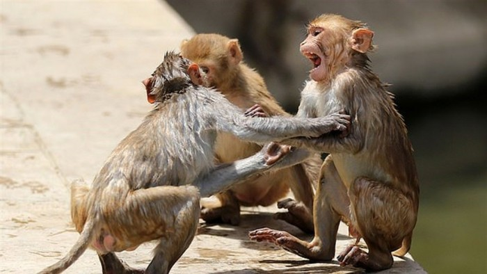 القرود تروع سكان قرية فريندافان في الهند