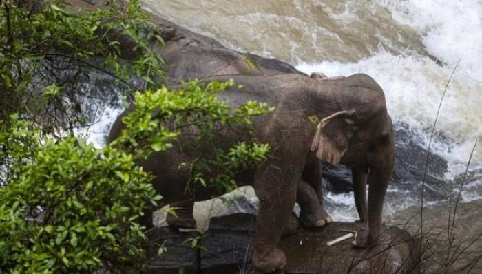 هلاك 6 أفيال بشلال في تايلاند لإنقاذ رضيع