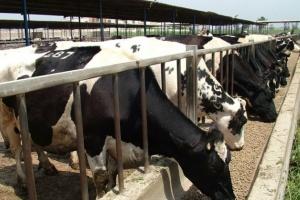السودان يقرر وقف صادرات الماشية بعد ظهور حمى الوادى المتصدع