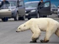 حظر تجوال على بلدة روسية إثر انتشار 60 دب قطبي بحثًا عن غذاء بعد انحسار الجليد
