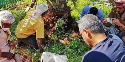 حملة إماراتية لتخليص سقطرى من سوسة النخيل الحمراء (صور)