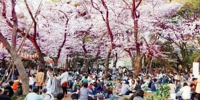 اليابان تلغي احتفالات موسم تأمل أزهار الكرز بسبب كورونا