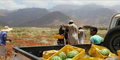 مزارع مؤسسة خليفة تزود سقطرى بالخضروات والفواكه (صور)
