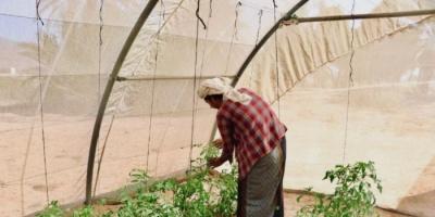 """""""البرنامج السعودي"""": جهود لتحقيق الأمن الغذائي في عدن وحجة والمهرة"""