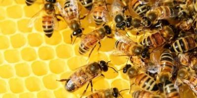 فيروس قاتل يتفشى بين النحل في بريطانيا