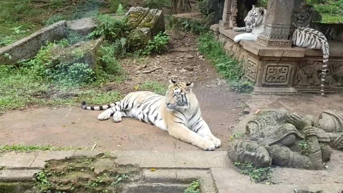 كورونا تجبر حديقة إندونيسية على ذبح حيواناتها لإطعام الأخرى