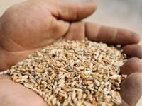 للتحصيل بعملات أجنبية.. ارتفاع أسعار القمح في لحج
