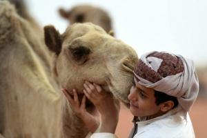 السعودية تفتتح أكبر مستشفى لعلاج الإبل في العالم
