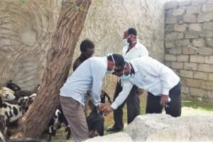 """""""الصليب الأحمر"""": تحصين 218 ألف رأس ماشية بمأرب"""