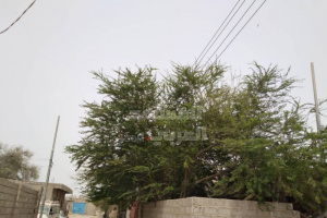 بالصور.. مخاوف من سقوط أشجار تطوق خطوط الكهرباء بزنجبار