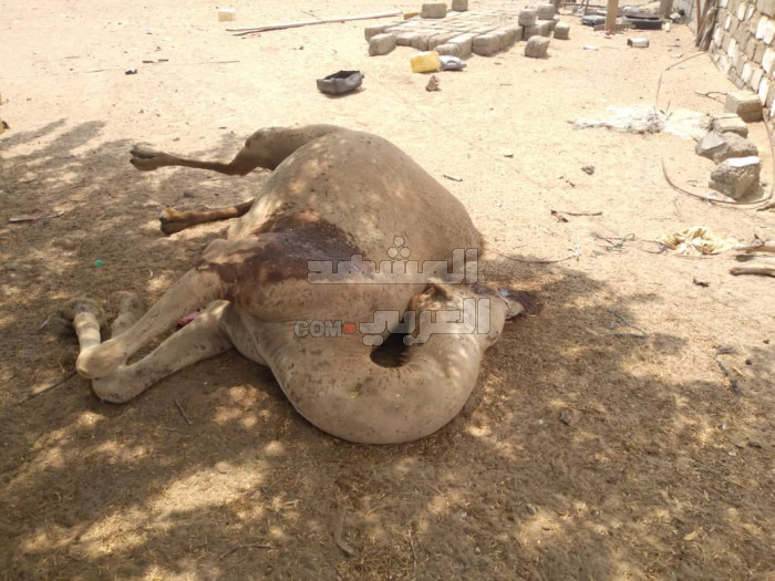 رصاص مليشيا الإخوان يفتك بالحيوانات في أبين (صور)