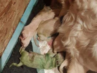 ولادة كلب جرو بلون أخضر.. والأطباء يفسرون