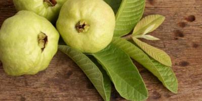 أوراق الجوافة المغلية.. كنز لا يقدر بثمن