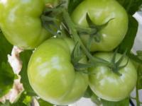تناول الطماطم الخضراء يؤدي إلى الوفاة