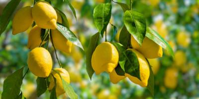 فوائد سحرية لأوراق الليمون