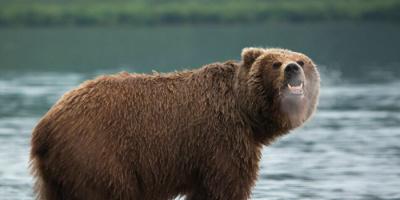 دب يهاجم رجلاً في ولاية ألاسكا بأمريكا