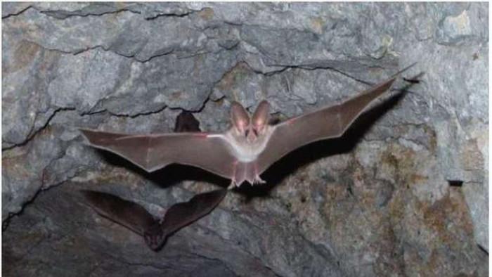 ظهور نوع جديد من فيروس كورونا في الخفافيش ببريطانيا