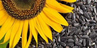 فوائد بذور عباد الشمس