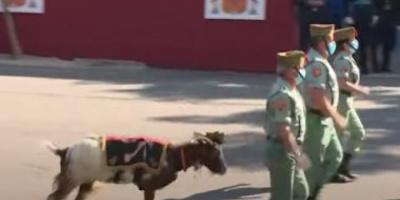 ماعز تشارك في عرض عسكري سنوي بإسبانيا