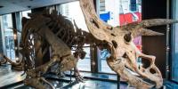 """بيع أكبر ديناصور بالعالم """"هيكل عظمي"""" في مزاد بباريس"""